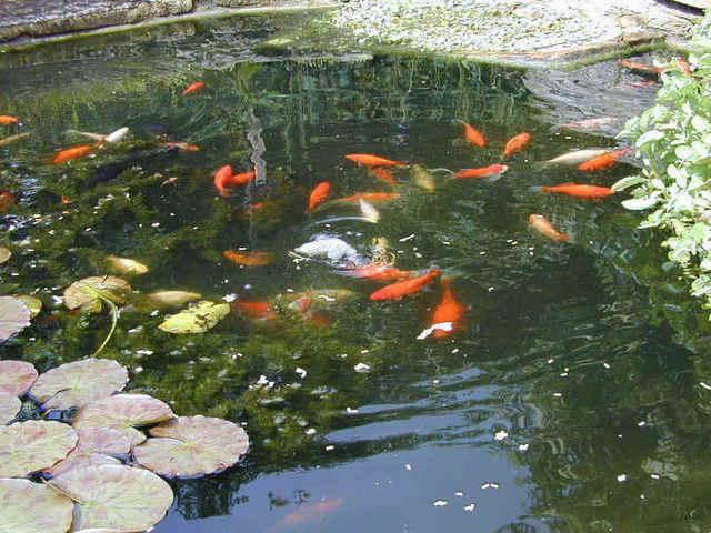 Crayfish aquaponics system waters sistem for Aquaponics fish pond