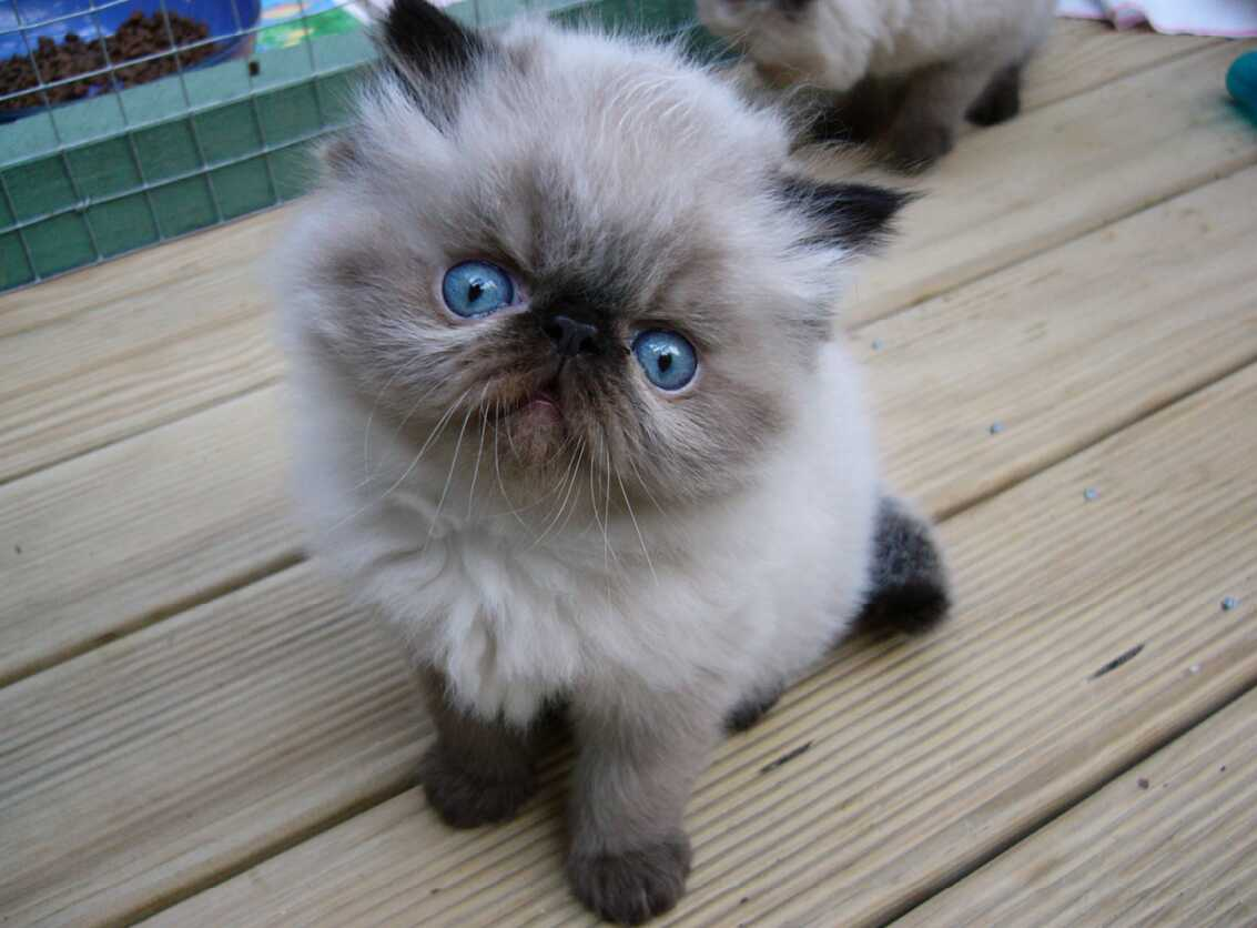 Blue Point Persian Cat