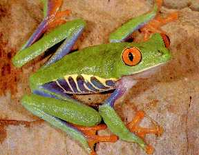"frog that lives by the Babylon River . . . ""It's not easy being green . . . with orange eyes"""