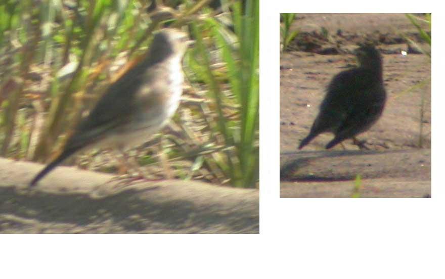 The Gone Birding Newsletter V6, N3