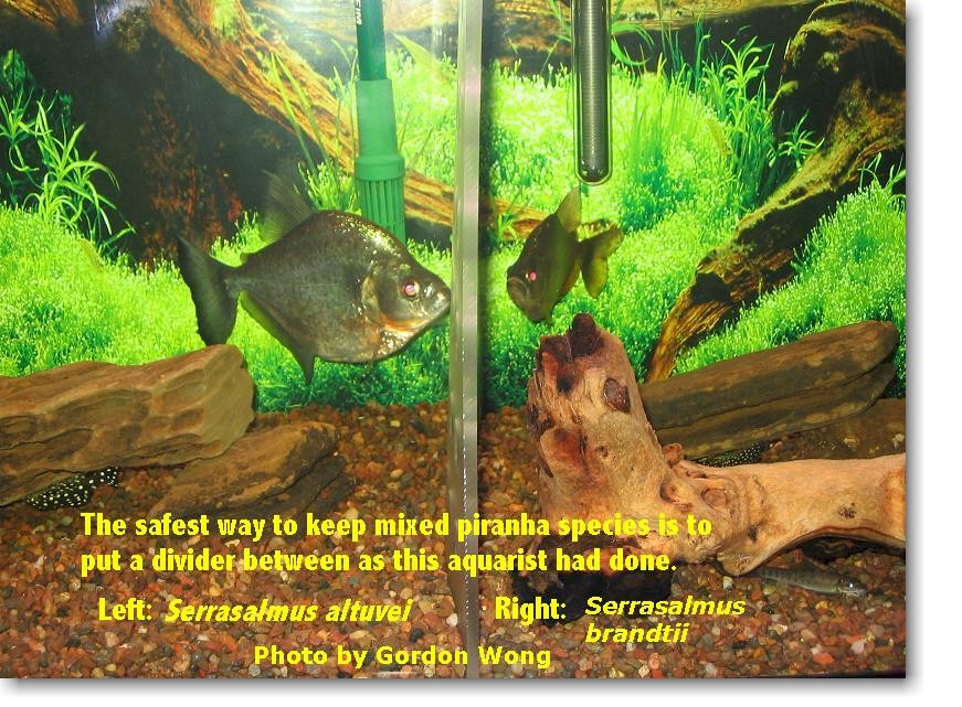 Piranha Ecosystem Biotopes And Aquariology Defining A Term For Use