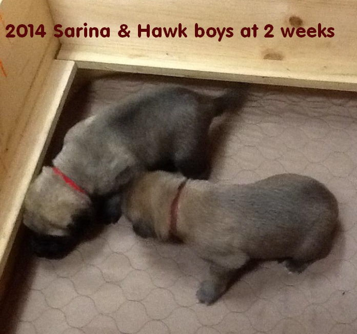 2 wk old pups