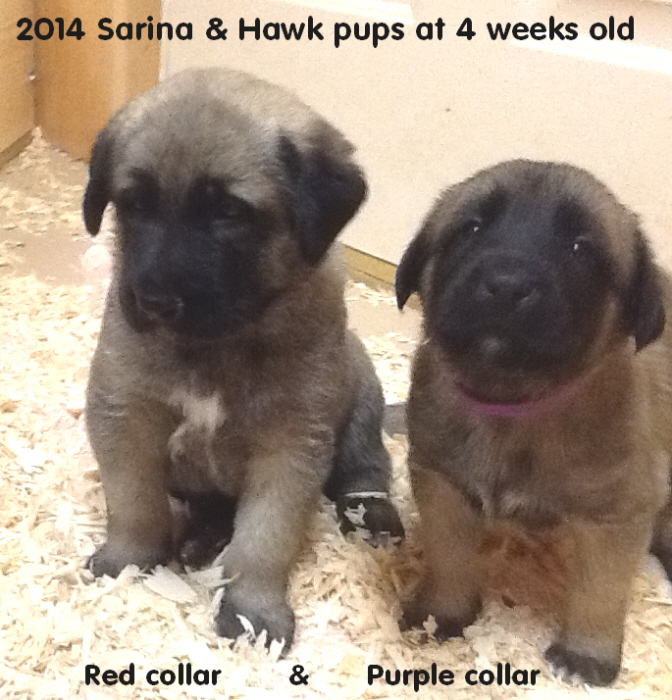 4 wk old pups