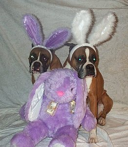 Pets: Boxer puppy and rabbit photo WP38288  Boxer Dogs With Bunnies
