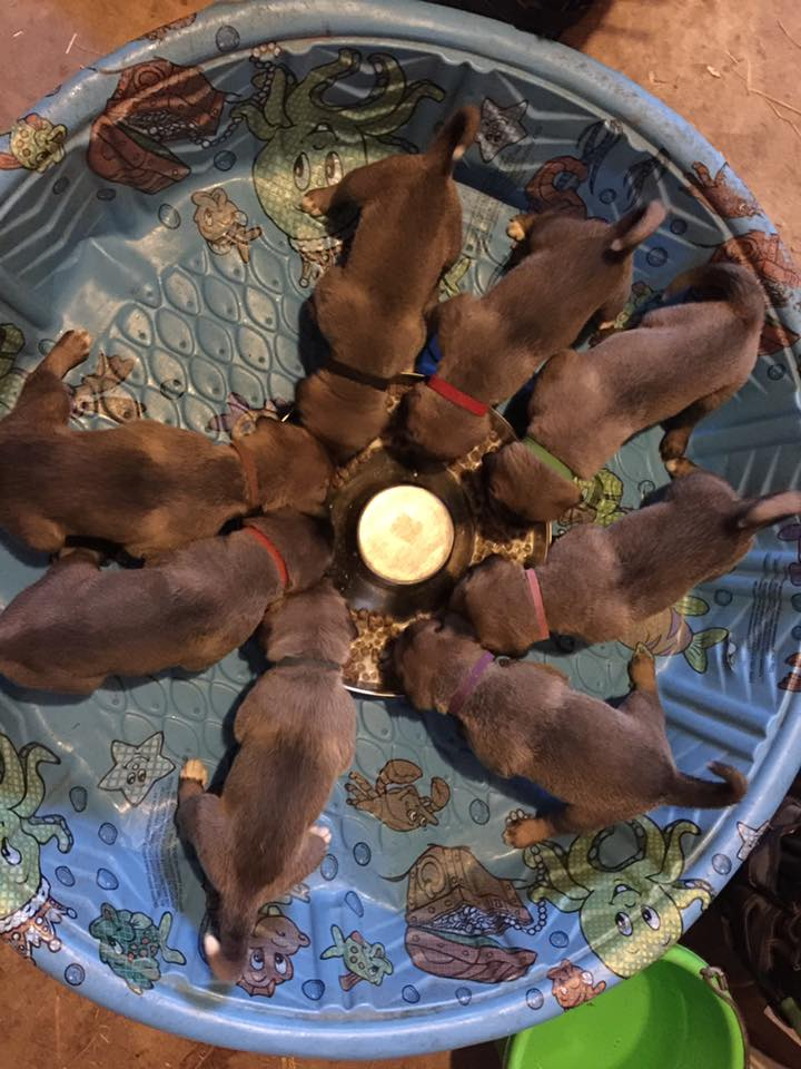 Pups' first real food away from Mom