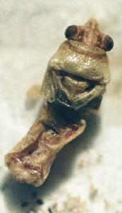 6,000 year old bug