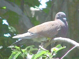 Pigeon sex — img 3