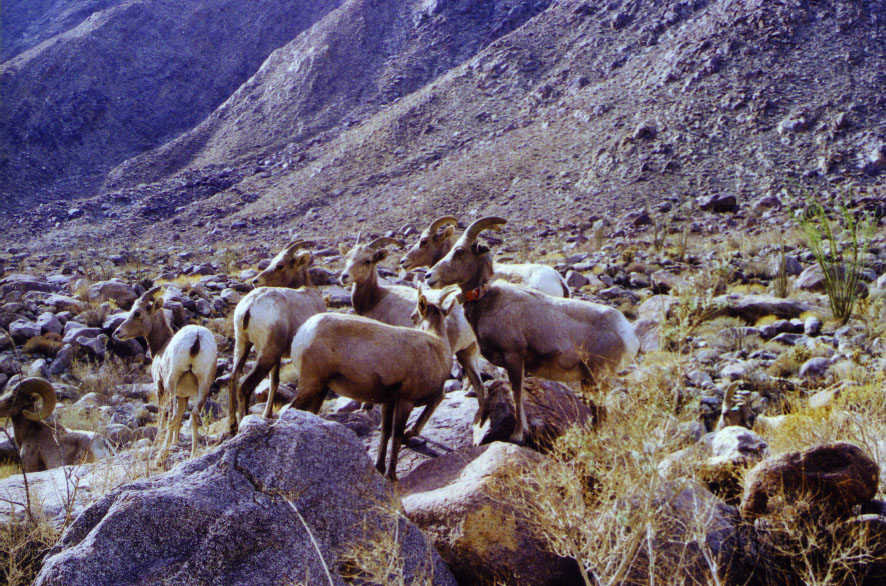 sheep herd bush web.JPG (145223 bytes)