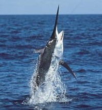 Australian Black Marlin