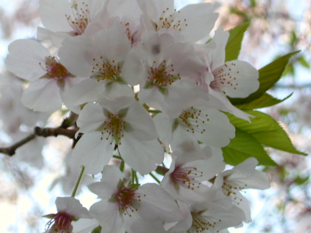 Cherry blossoms in Asakusa! Picture copyright Robert Sullivan 2004!