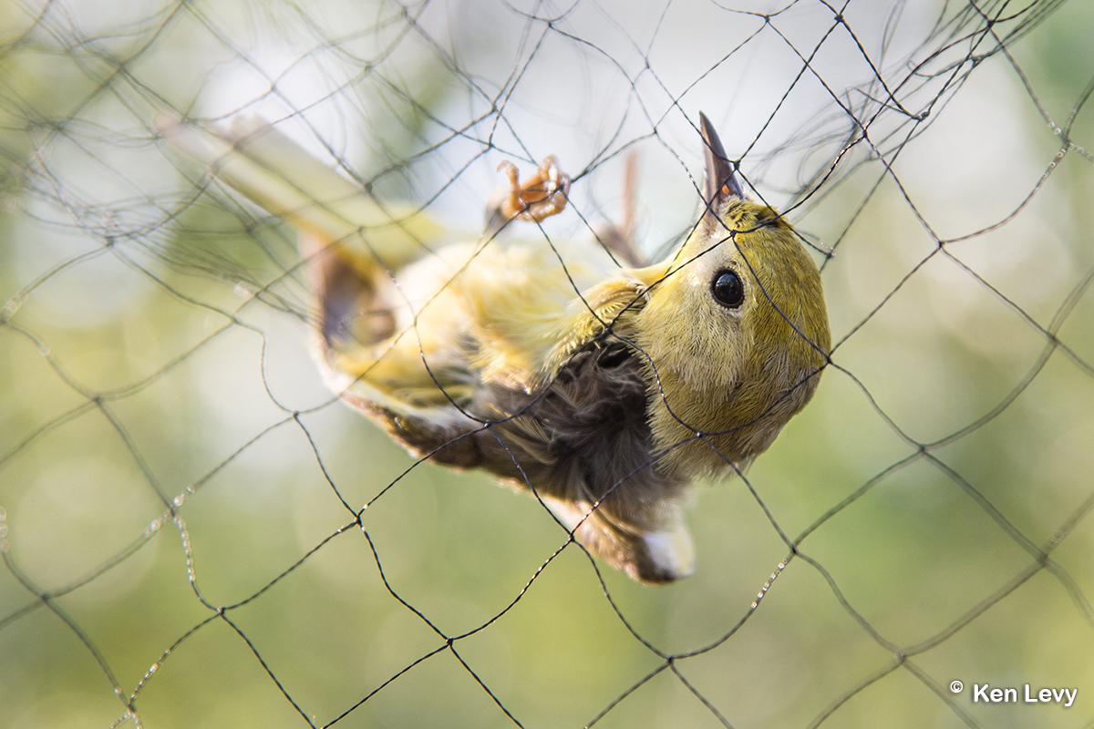 bird caught in net photo