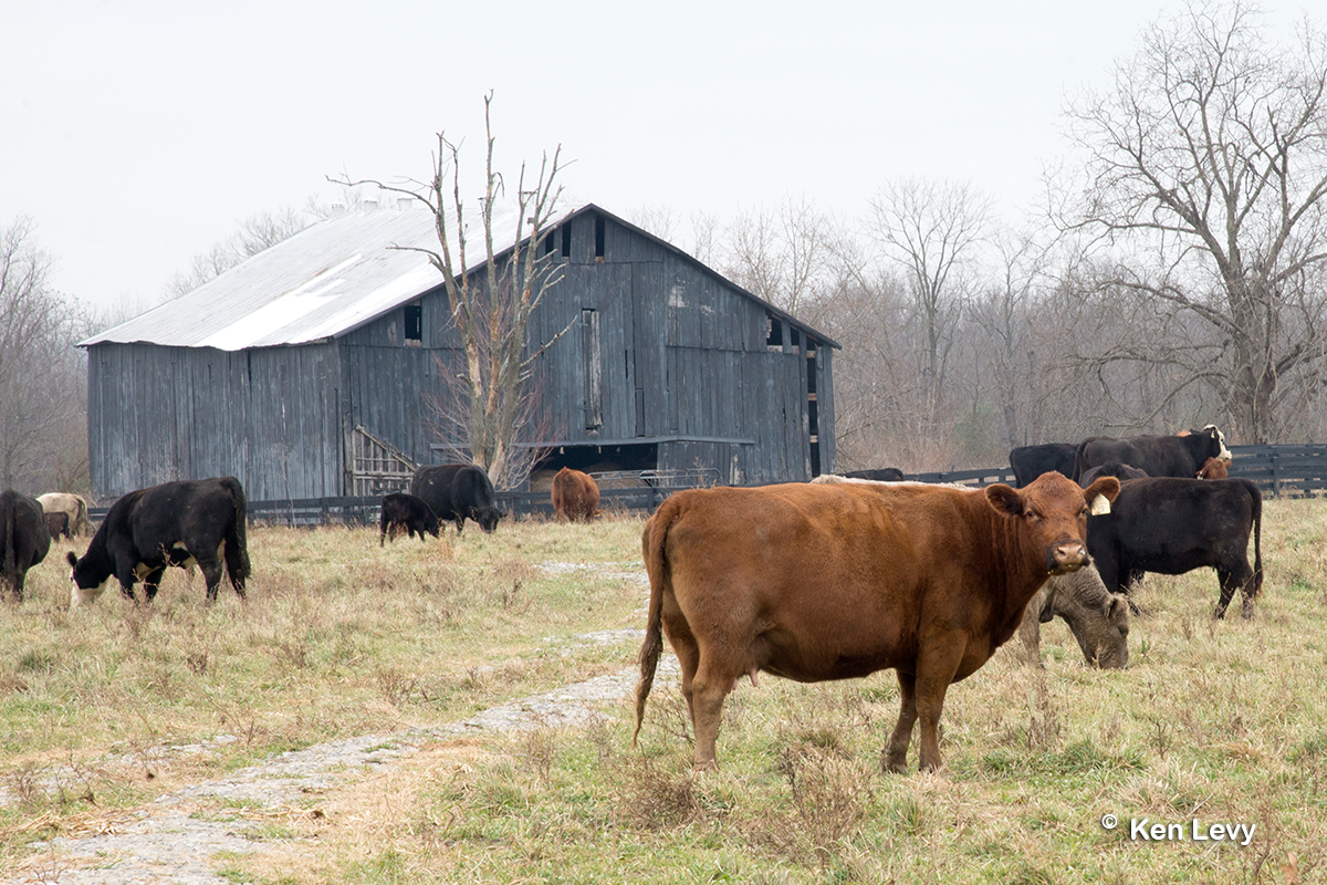 Barn cows Lexington