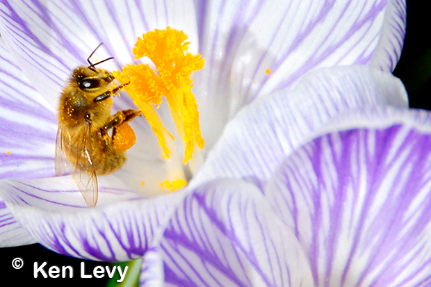 Bee and Pollen Photo