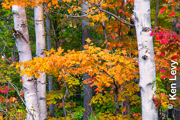 Birch tree fall photograph