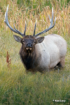 Bull Elk, Madison River