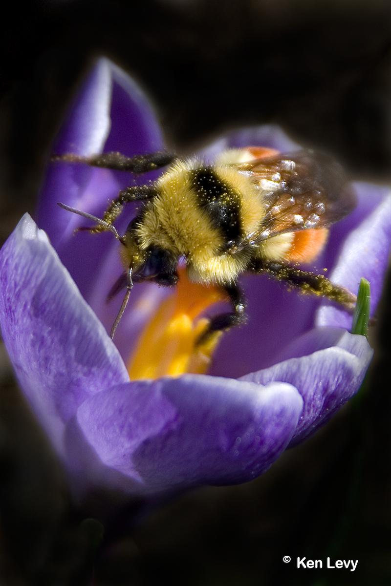 Bumblebee on Crocus