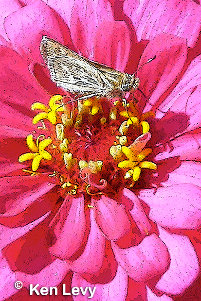 Butterfly on Zinnia Photo