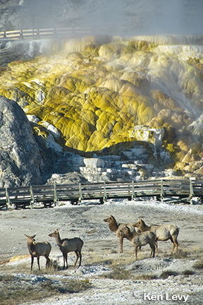 Elk Mammoth Hot Springs