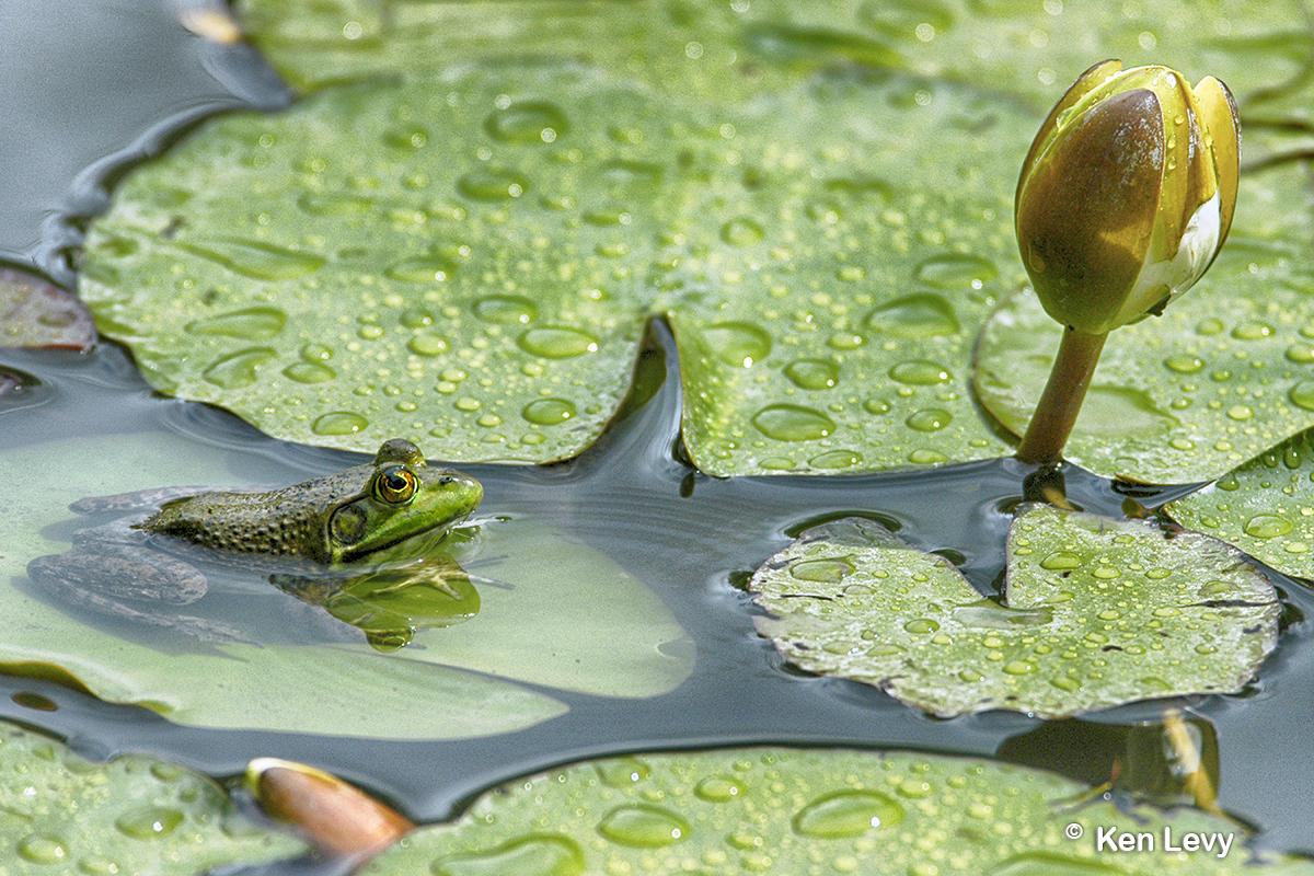 Frog, Japanese Garden