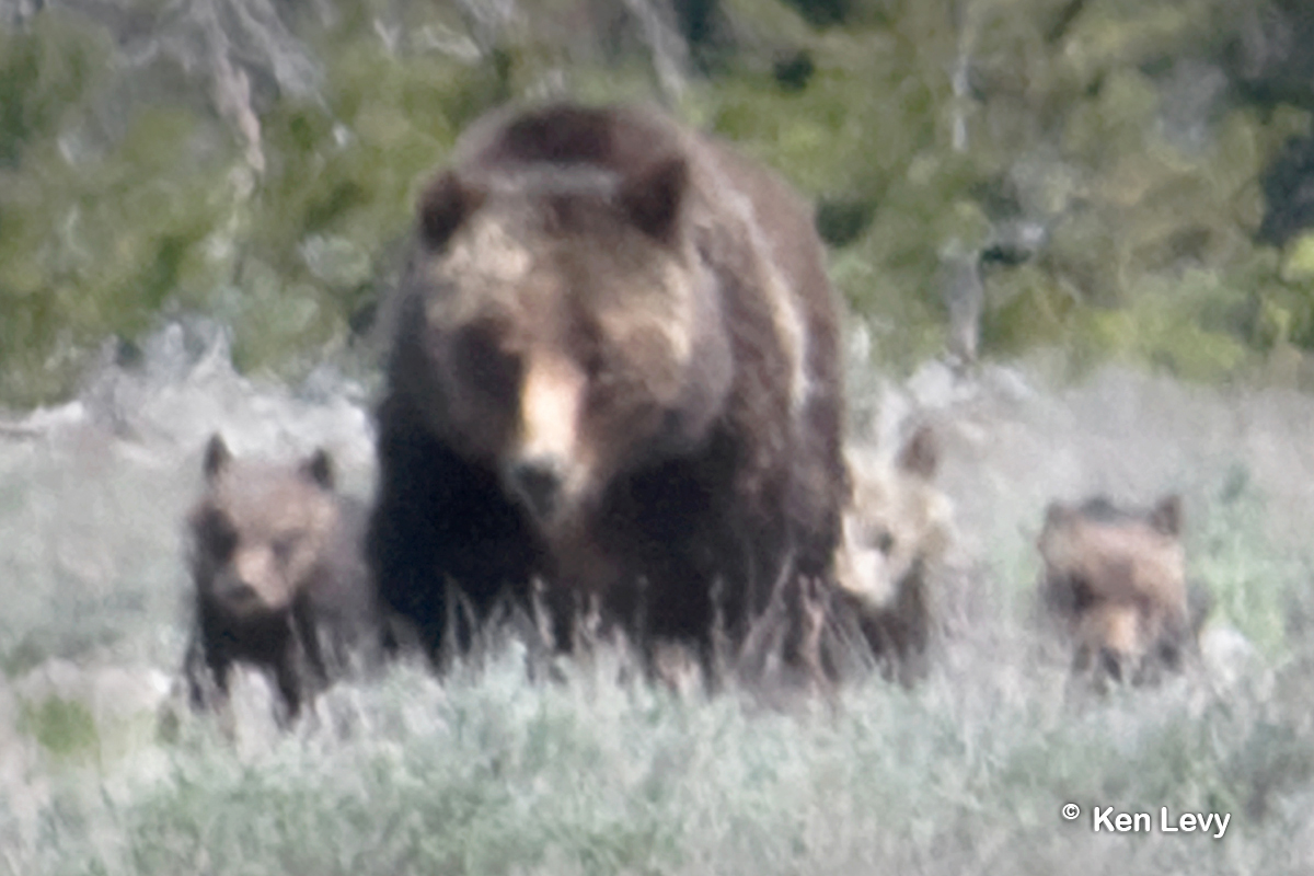 Grizzly Bear 399 with cubs