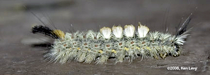 Moth Larva Photo