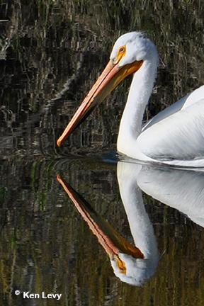 Pelican Oxbow Bend Photo