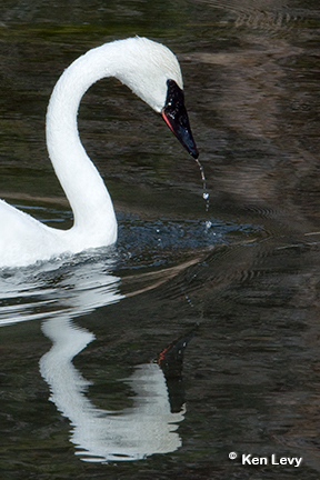 Trumpeter Swan Photograph, Yellowstone National Park