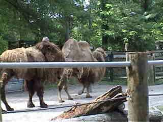 the ugly camels.