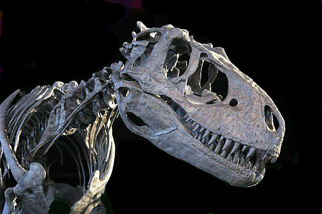 e2c3897d89a6 Dinosaur casts for sale: New American and Chinese Dinosaur fossils and  dinosaur casts / dinosaur replicas / dinosaur reproductions / fossil  replicas