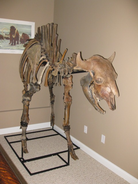 BisonFossils com Bison antiquus fossls for sale cast replicas