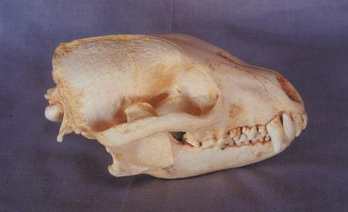 cachorro do mato de orelhas curtas VS cachorro do mato vinagre Bush_dog_skull_cast