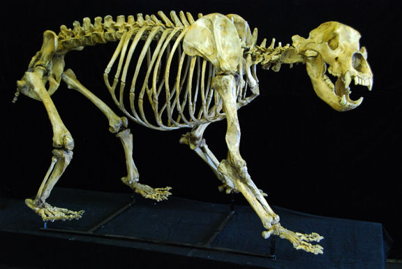 cave_bear_skeleton_fossil_cast_replica_A