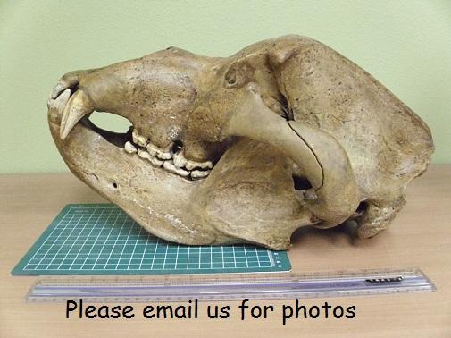http://www.angelfire.com/mi/dinosaurs/images/casts/cave_bear_skulls_6t.jpg