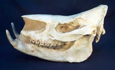 Teleoceras Skull