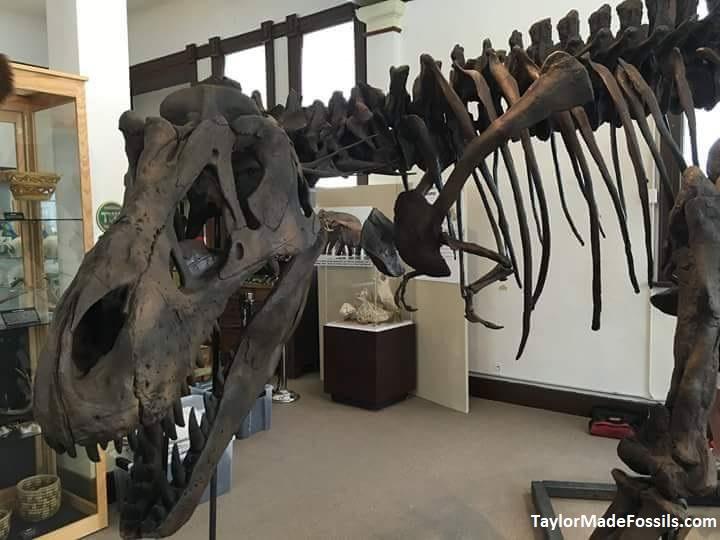 Dinosaur casts Dinosaur replicas Taylor Made Fossils