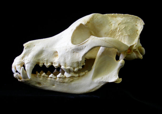[Image: german_shepard_dog_skull_cast.jpg]