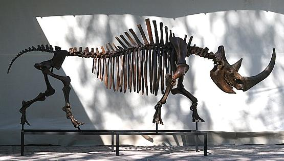 Image Gallery elasmotherium skeleton