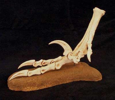 Velociraptor skeleton assembly instructions ...