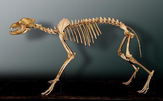 The Skeletal System of Mammals | Sciencing