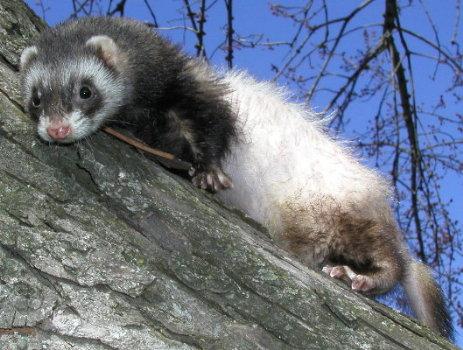 ferrets of amazing grace
