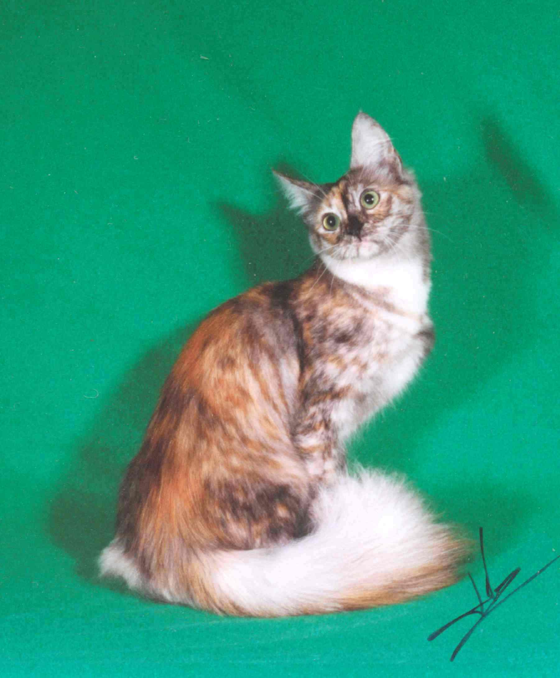 Quad Grand Champion Antioch China Roses is a smoke tortie girl. She ...