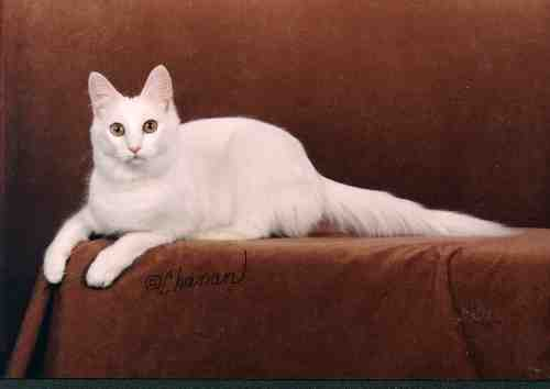 Turkish Angora Cats Kittens Show Wins