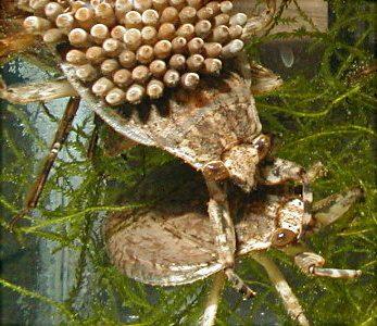 Mantidsassassins Assassin Bugs Aquatic Bugs Abedus Herberti