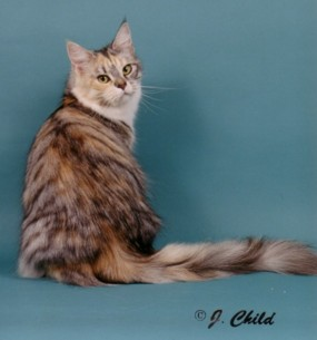 Maine Coon Cats - Cabincoon Cattery