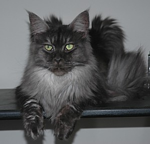 Maine Coon Kitten Pictures - Cabincoon Cattery