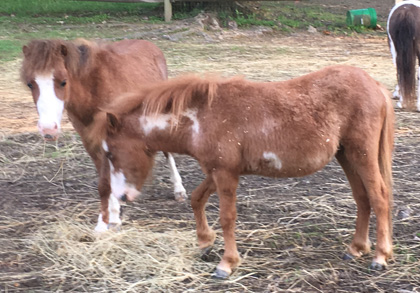 AMHA Registered Miniature Horses for Sale in PA | Hidden