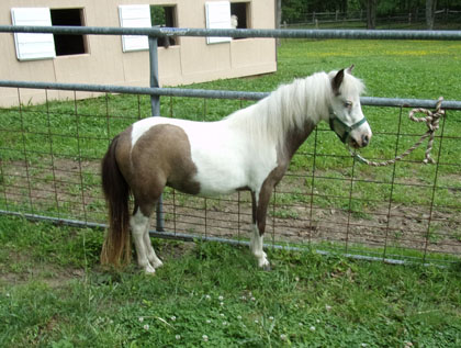 White and brown mini horse