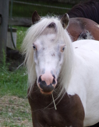 White and brown miniature horse