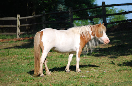 Brown and white miniature mare