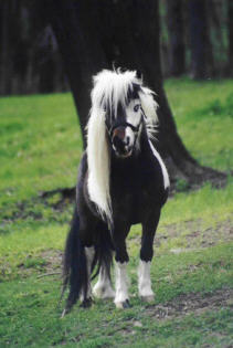 Black and white miniature stallion